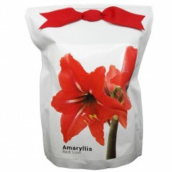 Amaryllis Red Lion- Una planta con unas flores espectaculares en forma de trompeta con hermosas hojas de color verde intenso. F