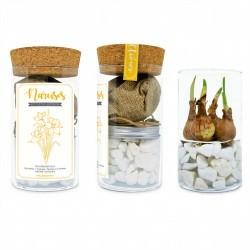 Kit de cultivo en agua de bulbos de otoño. Kit moderno para decoración interior.Compuesto por un elegante envase de vidrio tens