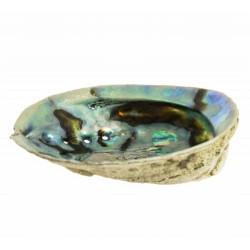 Tradicionalmente los amerindios usan el abalone en sus rituales para quemar plantas curativas como la salvia o la yerba santa.